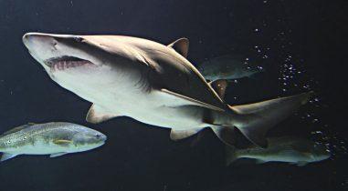 Aquarium Shark Collector
