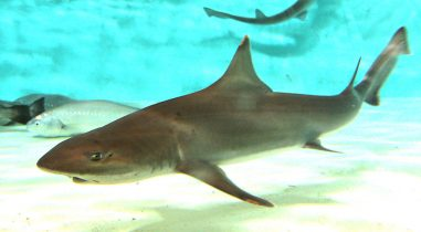 Shark Collector & Supplier for Large Aquariums